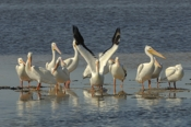 Photo: dd001605     American white Pelican , Pelecanus erythrorhynchos,  Sanibel Island, Florida, USA