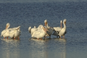 Photo: dd001606     American white Pelican , Pelecanus erythrorhynchos,  Sanibel Island, Florida, USA