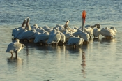 Photo: dd001609     American white Pelican , Pelecanus erythrorhynchos,  Sanibel Island, Florida, USA