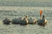 Photo: dd001644     American white Pelican , Pelecanus erythrorhynchos,  Sanibel Island, Florida, USA