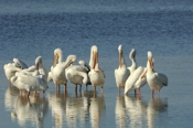 Photo: dd001650     American white Pelican , Pelecanus erythrorhynchos,  Sanibel Island, Florida, USA