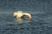 Photo: dd011019     American white Pelican , Pelecanus erythrorhynchos,  Sanibel Island, Florida, USA