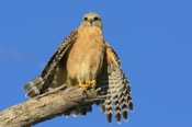 Photo: dd001702     Red-shouldered Hawk , Buteo lineatus,  Sanibel Island, Florida, USA