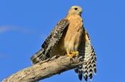 Photo: dd001703Red-shouldered Hawk, Buteo lineatus, Sanibel Island, Florida, USA