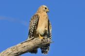 Photo: dd001704Red-shouldered Hawk, Buteo lineatus, Sanibel Island, Florida, USA