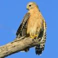 Photo: dd001708Red-shouldered Hawk, Buteo lineatus, Sanibel Island, Florida, USA