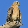 Photo: dd011051     Red-shouldered Hawk , Buteo lineatus,  Sanibel Island, Florida, USA