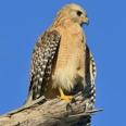 Photo: dd011051Red-shouldered Hawk, Buteo lineatus, Sanibel Island, Florida, USA
