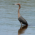 Photo: as001674     Reddish Egret , Egretta rufescens,  Sanibel Island, Florida, USA