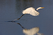 Photo: as001870     Great White Egret , Ardea alba,  Sanibel Island, Florida, USA