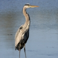 Photo: dd001861     Great Blue Heron , Ardea herodias,  Sanibel Island, Florida, USA