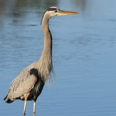 Photo: dd001862     Great Blue Heron , Ardea herodias,  Sanibel Island, Florida, USA