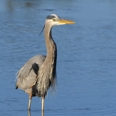 Photo: dd001863     Great Blue Heron , Ardea herodias,  Sanibel Island, Florida, USA
