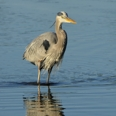 Photo: dd001864     Great Blue Heron , Ardea herodias,  Sanibel Island, Florida, USA