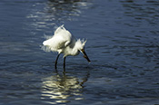 Photo: dd001865     Great White Egret , Ardea alba,  Sanibel Island, Florida, USA