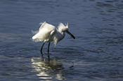 Photo: dd001866     Great White Egret , Ardea alba,  Sanibel Island, Florida, USA