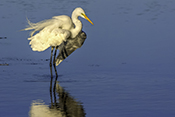 Photo: dd001867     Great White Egret , Ardea alba,  Sanibel Island, Florida, USA