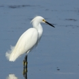 Photo: dd001974     Snowy Egret , Egretta thula,  Sanibel Island, Florida, USA