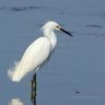 Photo: dd001974Snowy Egret, Egretta thula, Sanibel Island, Florida, USA
