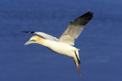 Photo: dd001535     northern gannet , Morus bassanus,  Heligoland, North Sea, Germany