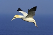 Photo: dd001536     northern gannet , Morus bassanus,  Heligoland, North Sea, Germany