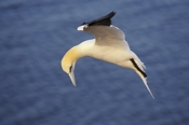 Photo: dd001537     northern gannet , Morus bassanus,  Heligoland, North Sea, Germany
