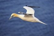 Photo: dd001538     northern gannet , Morus bassanus,  Heligoland, North Sea, Germany