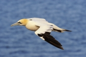 Photo: dd001562     northern gannet , Morus bassanus,  Heligoland, North Sea, Germany