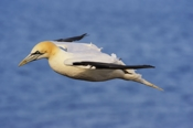 Photo: dd001563     northern gannet , Morus bassanus,  Heligoland, North Sea, Germany