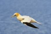 Photo: dd001564     northern gannet , Morus bassanus,  Heligoland, North Sea, Germany