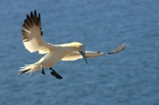 Photo: dd001835     northern gannet , Morus bassanus,  Heligoland, North Sea, Germany