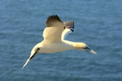 Photo: dd001848     northern gannet , Morus bassanus,  Heligoland, North Sea, Germany