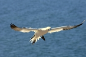 Photo: dd001849     northern gannet , Morus bassanus,  Heligoland, North Sea, Germany