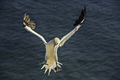 Photo: dd011090     northern gannet , Morus bassanus,  Heligoland, North Sea, Germany