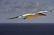 Photo: dd011091     northern gannet , Morus bassanus,  Heligoland, North Sea, Germany