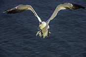 Photo: dd011093     northern gannet , Morus bassanus,  Heligoland, North Sea, Germany