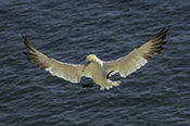 Photo: dd011094     northern gannet , Morus bassanus,  Heligoland, North Sea, Germany