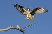 Photo: dd001001     Osprey , Pandion haliaetus,  Blue Cypress Lake, Florida, USA