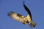 Photo: dd001008     Osprey , Pandion haliaetus,  Blue Cypress Lake, Florida, USA