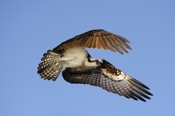 Photo: dd001010     Osprey , Pandion haliaetus,  Blue Cypress Lake, Florida, USA