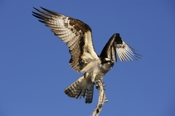 Photo: dd001013     Osprey , Pandion haliaetus,  Blue Cypress Lake, Florida, USA