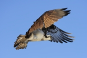 Photo: dd001015     Osprey , Pandion haliaetus,  Blue Cypress Lake, Florida, USA