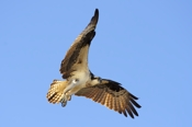 Photo: dd001017     Osprey , Pandion haliaetus,  Blue Cypress Lake, Florida, USA