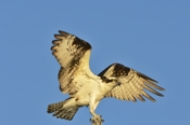 Photo: dd001127     Osprey , Pandion haliaetus,  Blue Cypress Lake, Florida, USA