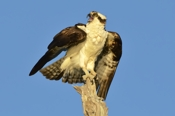 Photo: dd001128     Osprey , Pandion haliaetus,  Blue Cypress Lake, Florida, USA