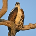 Photo: dd001133     Osprey , Pandion haliaetus,  Blue Cypress Lake, Florida, USA