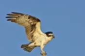 Photo: dd001136     Osprey , Pandion haliaetus,  Blue Cypress Lake, Florida, USA