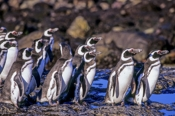 Photo: dd001620Magellanic Penguin , Spheriscus magellanicus,  Island of the penguins, Atlantic, Argentina