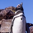 Photo: dd001622     Magellanic Penguin , Spheriscus magellanicus,  Island of the penguins, Atlantic, Argentina