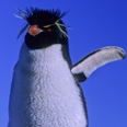 Photo: dd001630     Rockhopper Penguin , Eudyptes chrysochome,  Island of the penguins, Atlantic, Argentina